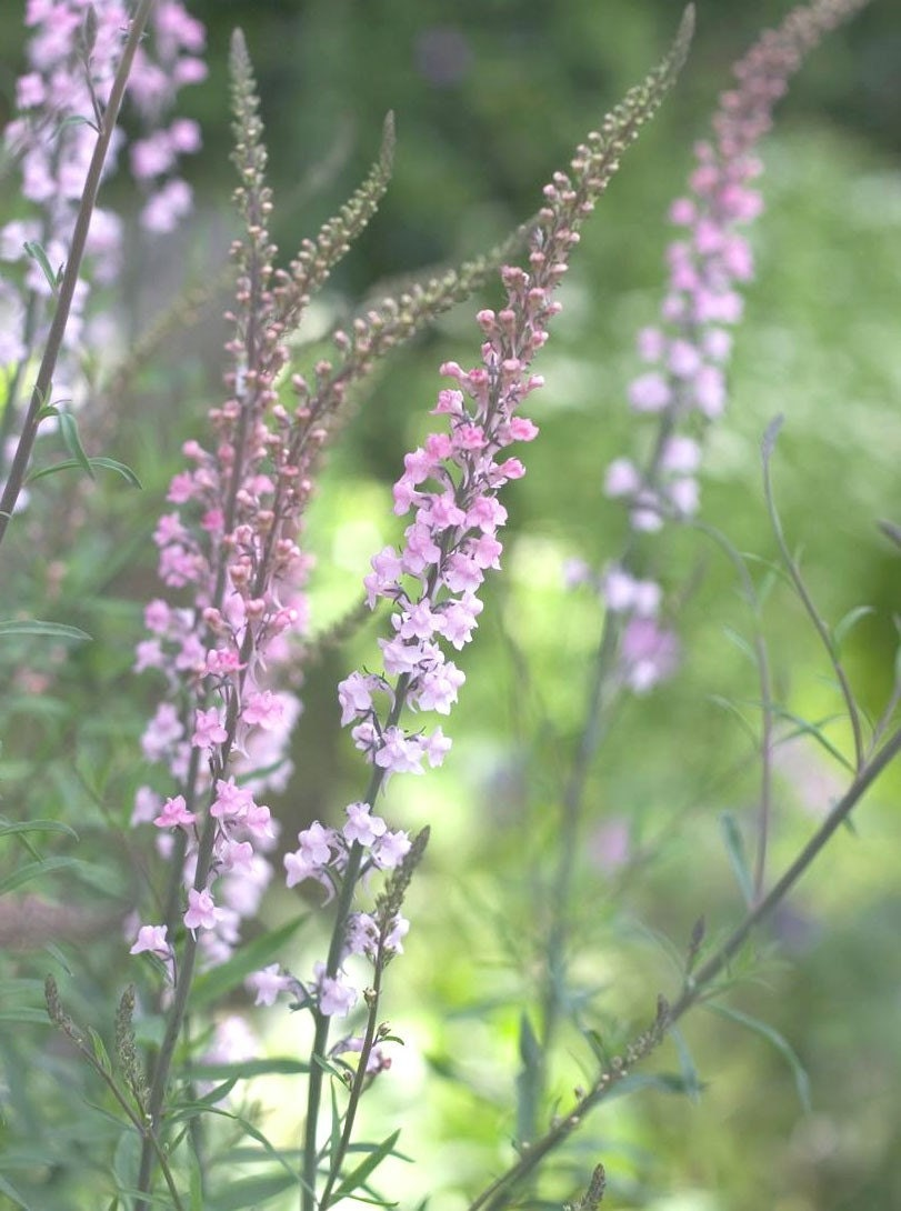 Watch further Linaria purpurea purple toadflax a in addition Procumbens besides General Orchid Care together with Starting Another Dendrobium Nobile From. on just growing orchids