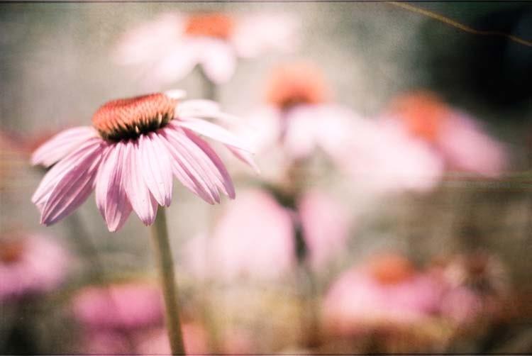 Обещает к Себе.  фиолетовый цветок lavendar фотографии.  фотографии природы.  романтический потертый шик дома.  Ботанический печати.  Питомник искусство