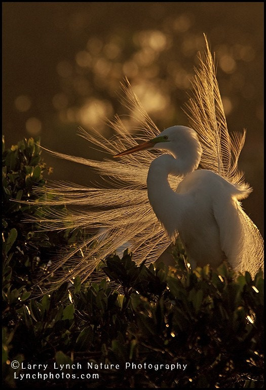 Great Egret in Breeding Plumes at Sunset