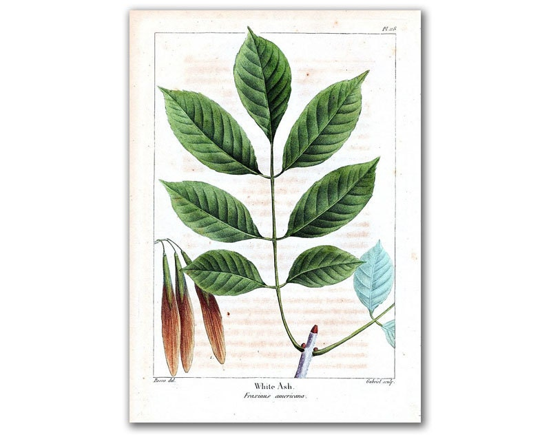 White Ash Blossom, vintage illustration printed on parchment paper - DejaVuPrintStore