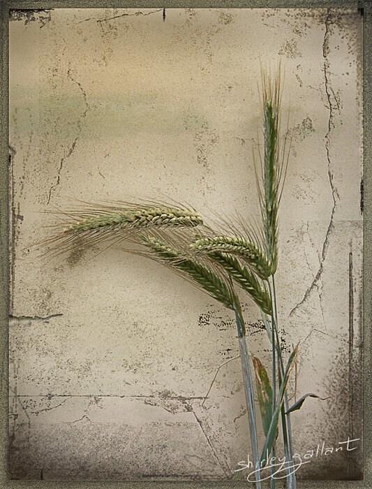 Wild Wheat 5X7 Fine Art Print - SonnysPics