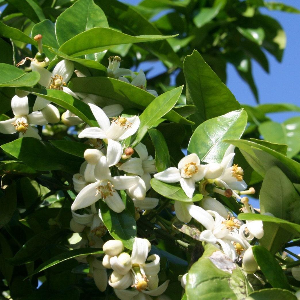 Aromatherapy Thursday Neroli Butterflyintheattic
