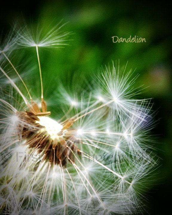 Ah, The  Dandelion ...