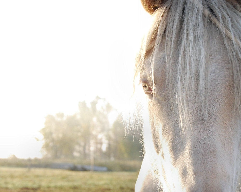 White horse, eye closeup , pale light grey, animal photo, horse photo, home decor wall art - 8 x 10 fine art print - gbrosseau