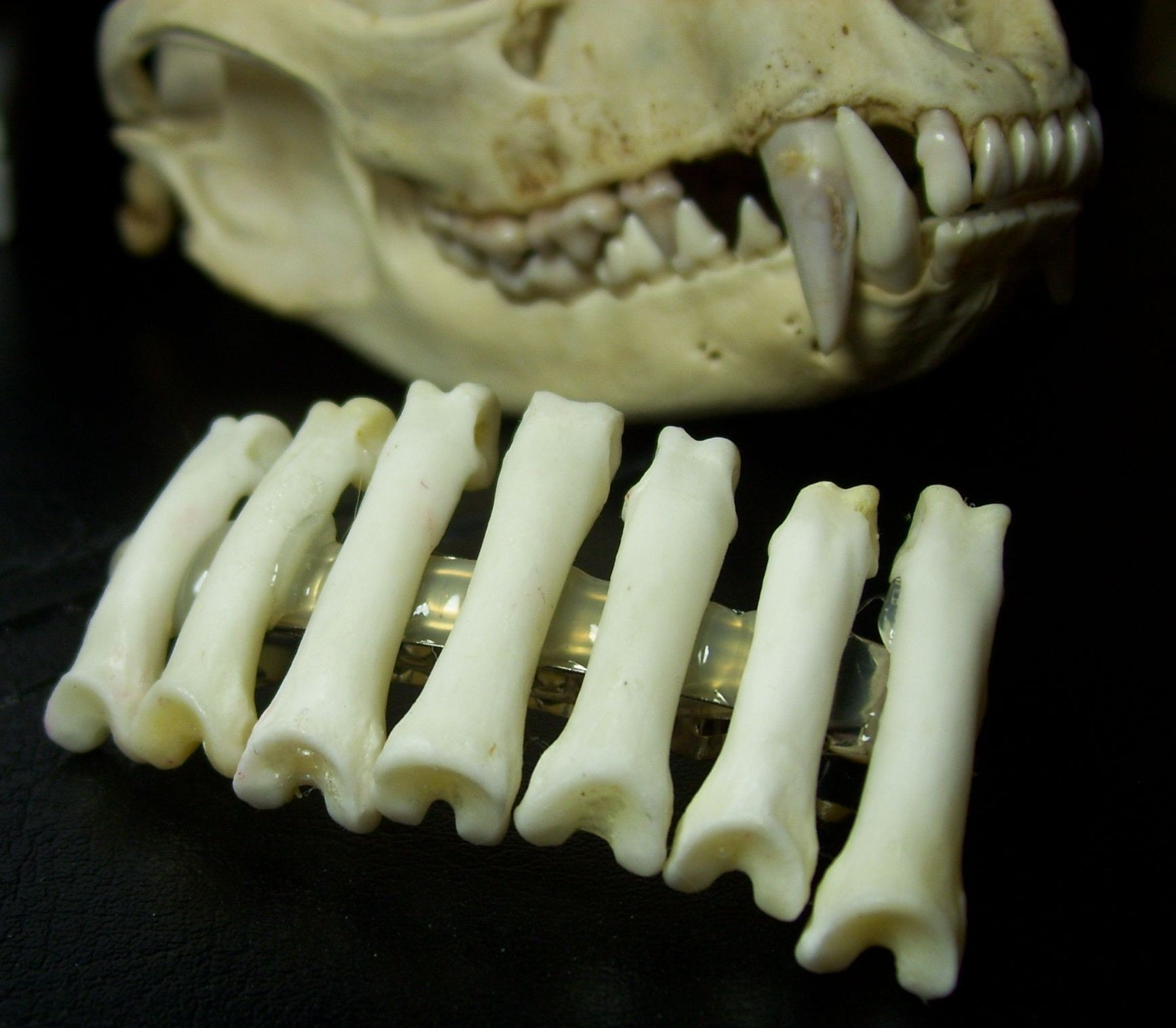 Real Bob Cat Toe Bone Hair Clip Barrette