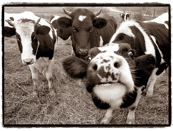 Cow photography, Nature Photography, Cows, black and white, giclee print,animals, Farm, nature, funny, silly, happy, Dairy, Sepia,11x14 - RikkiVanCamp