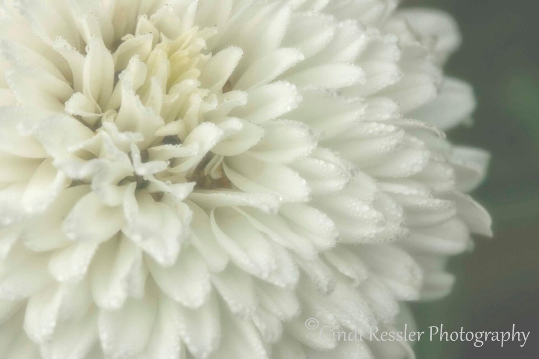 Double Bloom Shasta Daisy, 5x7 Fine Art Photography, Flower Photography - CindiRessler