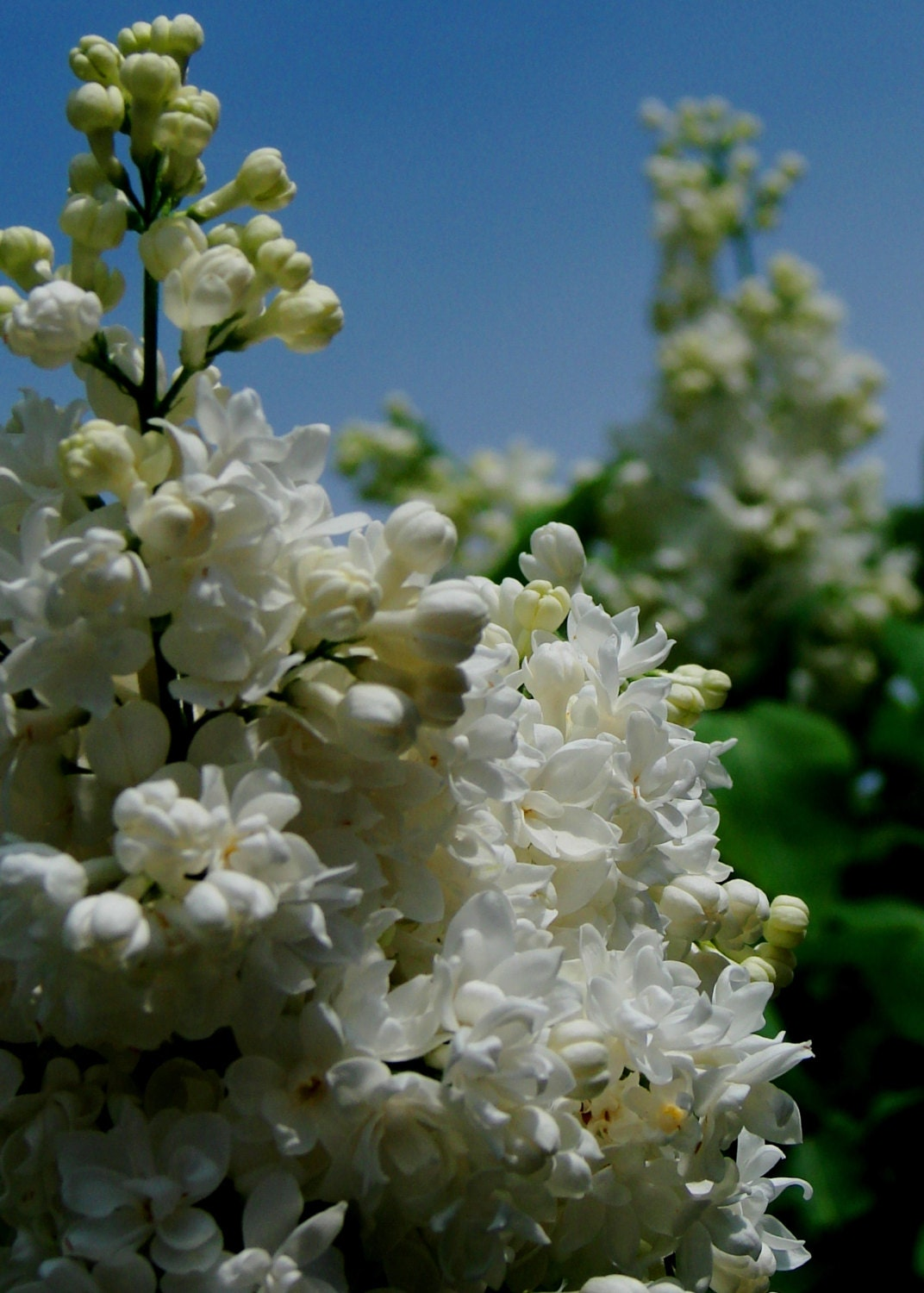 Flower Fine Art Photography-White Lilac 2 - 5x7 print - CelticVisions