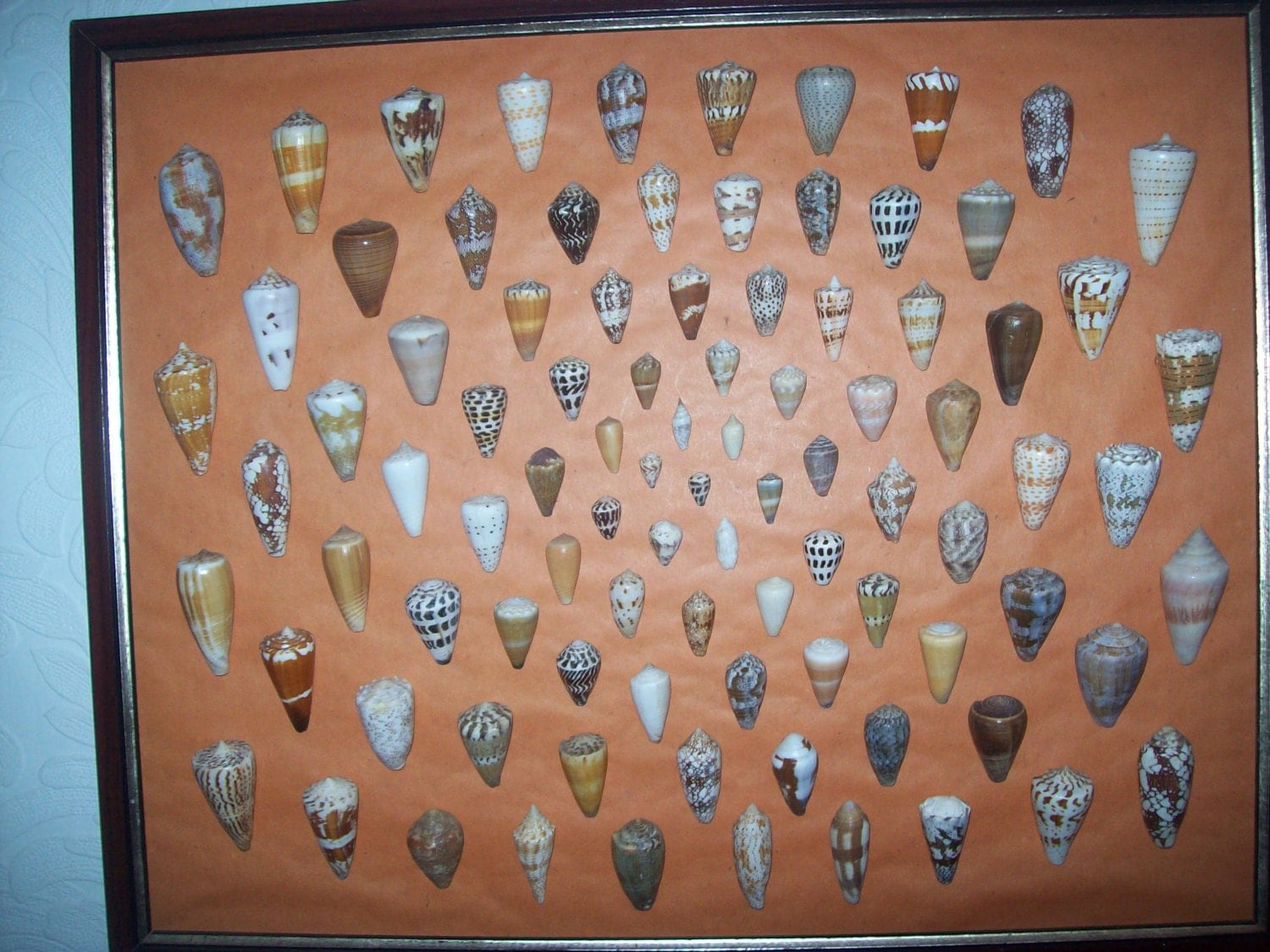Collection of Cone Shells Framed from an Old Collection