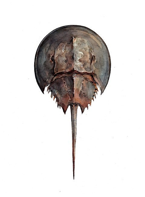 Horseshoe Crab Original Watercolor
