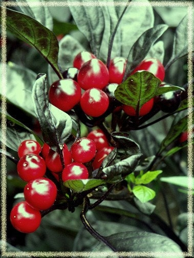 happy holiday peppers...original fine art photo card set