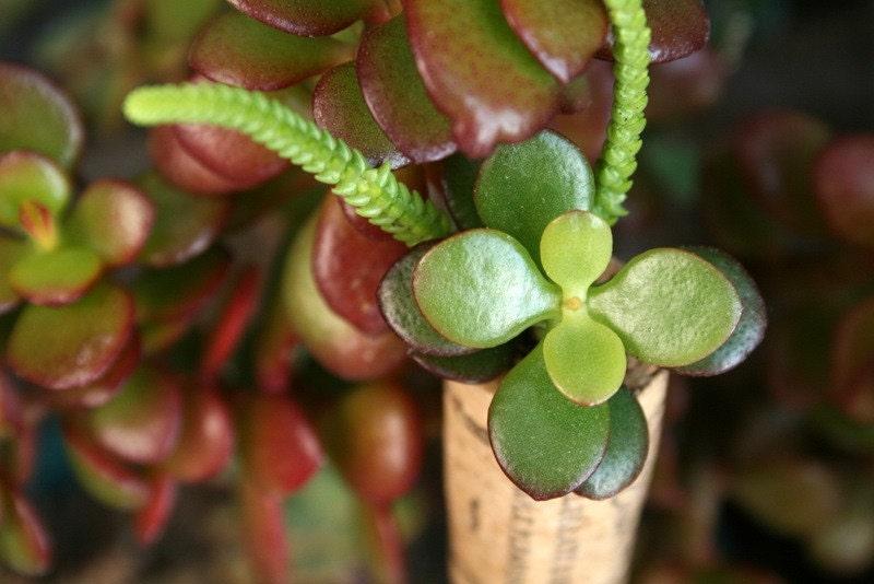 Succulent Cork Magnet, Emerald Bay Jade