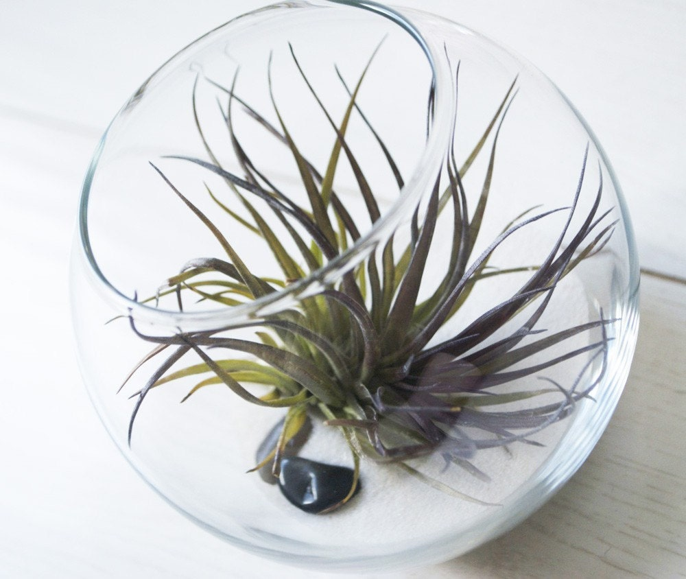 Mini fish bowl terrarium small air plant with by tohold for Small fish bowl