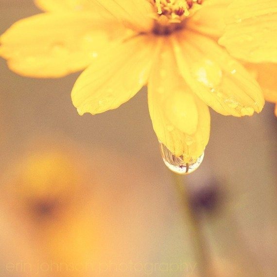 Yellow Flower and Waterdrop 8x8 Fine Art Photography Print