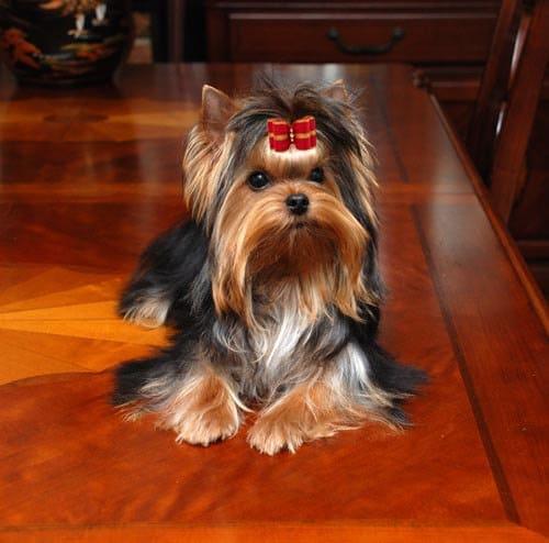 Dog Show Bows Shih Tzu