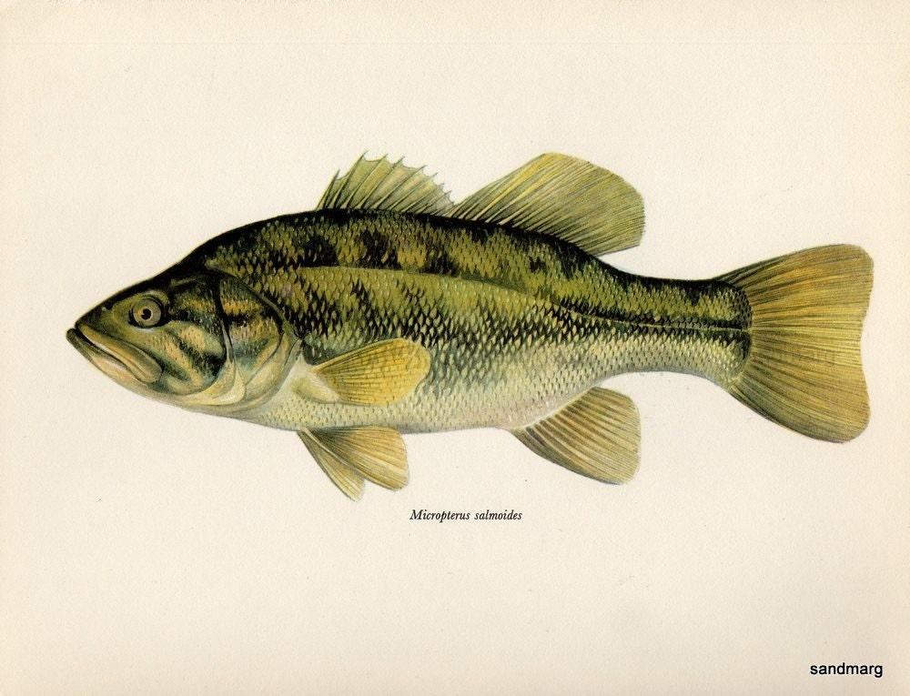 Vintage Largemouth Black Bass Freshwater Fish European Print. From sandmarg