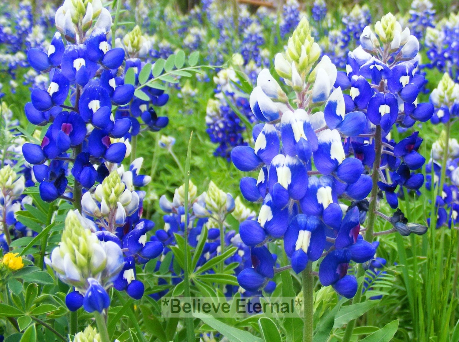 BlueBonnets Photo (5x7)