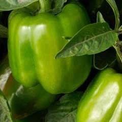 Pepper California Wonder Seed Organic Hierloom Vegetable Seed - organicherbals