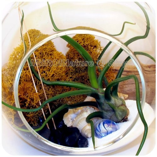 Hanging Air Plant Kit Glass Orb Terrarium : Yin And Yang Tillandsia AirPlant Moss Terrarium Kit Bridesmaid Thank You Teacher Gift For Him - AGiftofNature