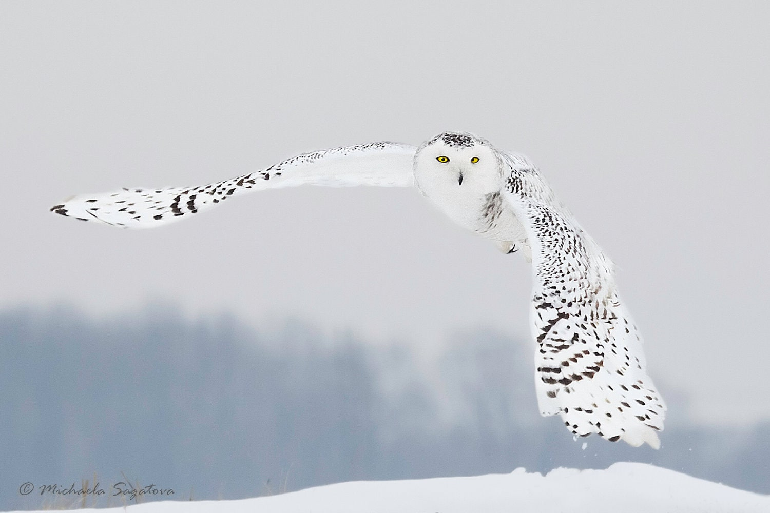 "Snowy Owl In Flight - MEDIUM sized Fine Art Giclée Canvas Gallery Wrap Print 8""x12"" - MichaelaSagatovaArt"