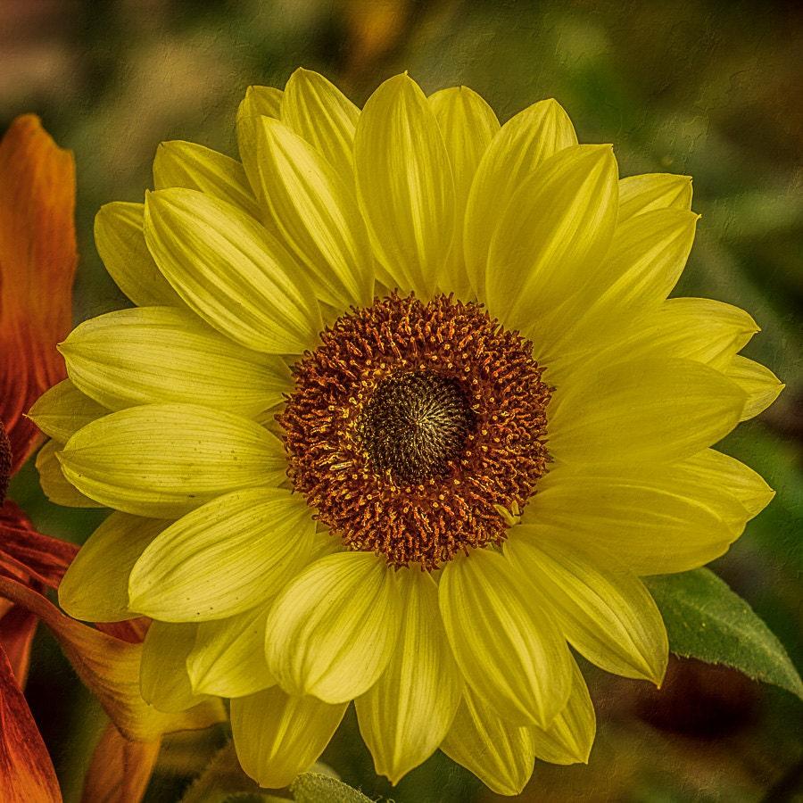 Yellow Sunflower Photo Closeup Flower By Natureimagesbydesign