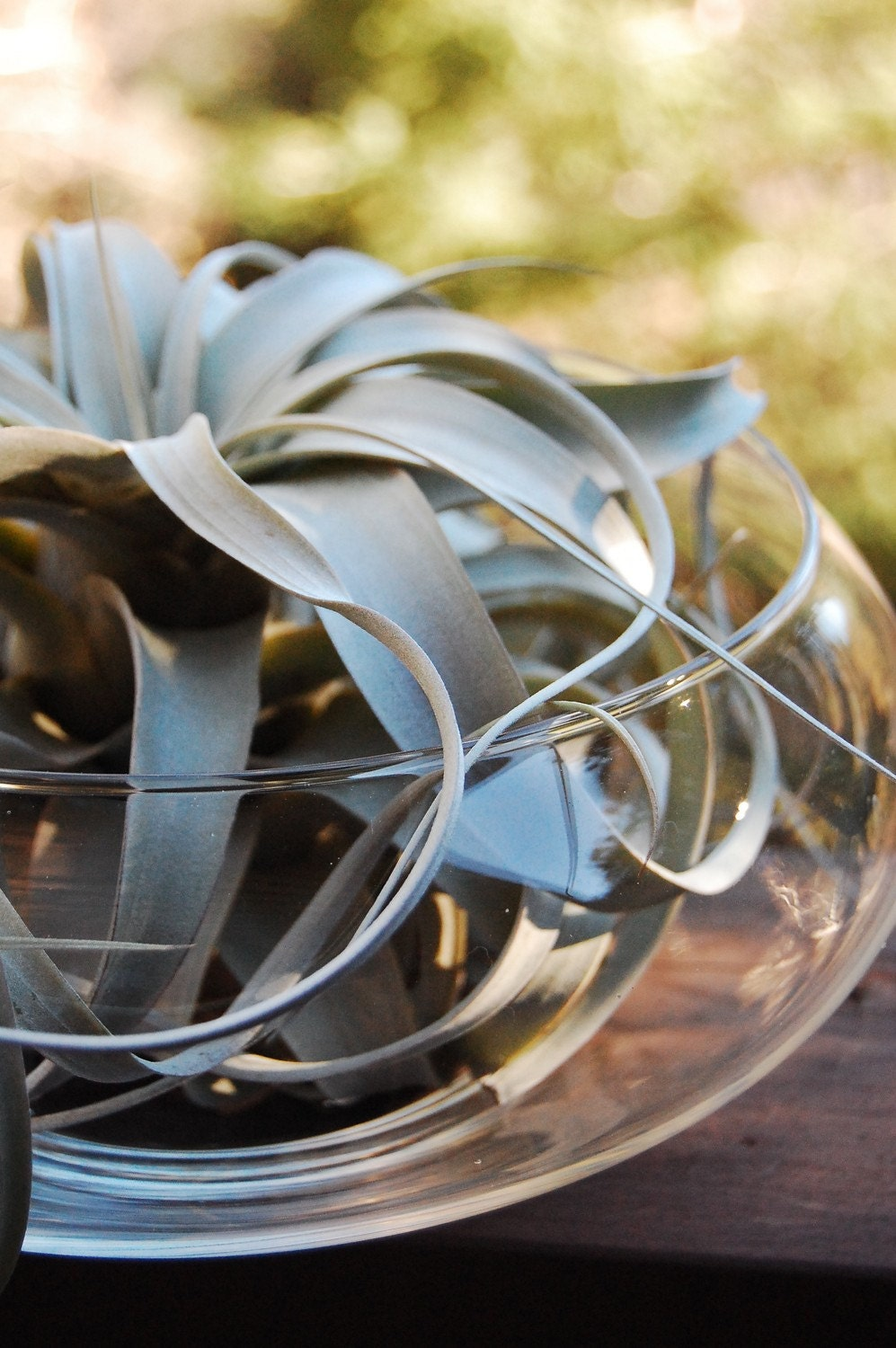 Totally ZEN! Gorgeous Xerographica air plant in glass bowl, with coarse and beautiful grayish color leaves, all curly and curvy.