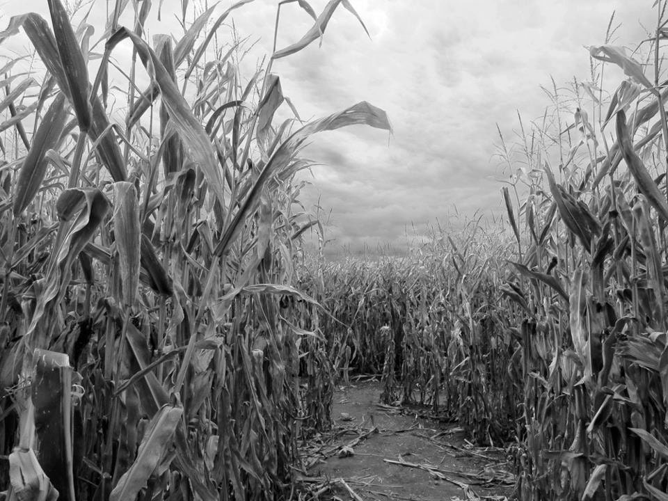 Beckon, black and white photograph, 8x10, cornfield, Halloween, spooky, mysterious, corn maze, fine art photo, Salem - LemonCageCollective