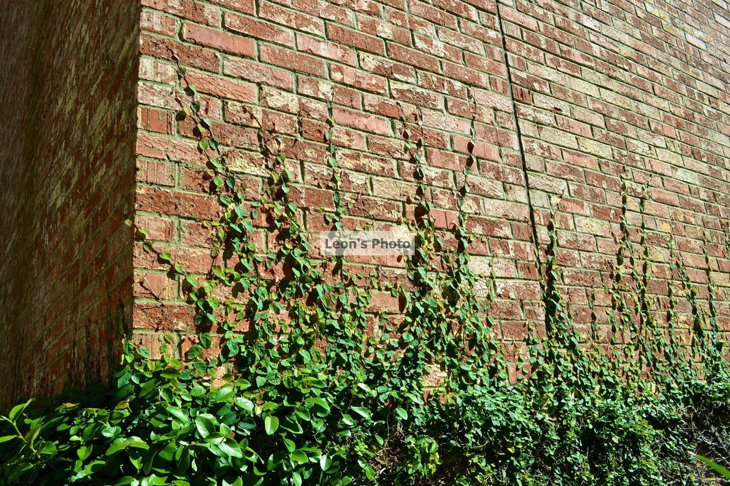 Ivy Creeping Up Brick Wall , Wall Art, 8 X 10, Nature Photograph, Greens