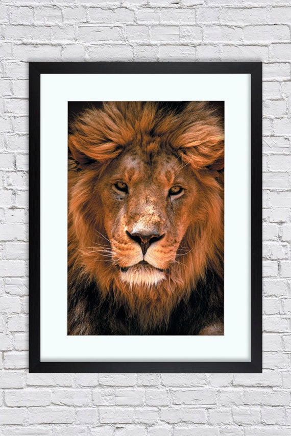 African Lion Face Close Up    Large Mounted  Framed Poster Art Print A2 31 x 24 Inches  ( 75 x 61 cm )
