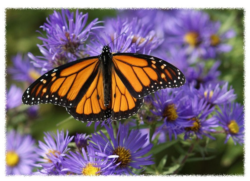 Monarch Butterfly and Purple Asters photo greeting card 5 x 7