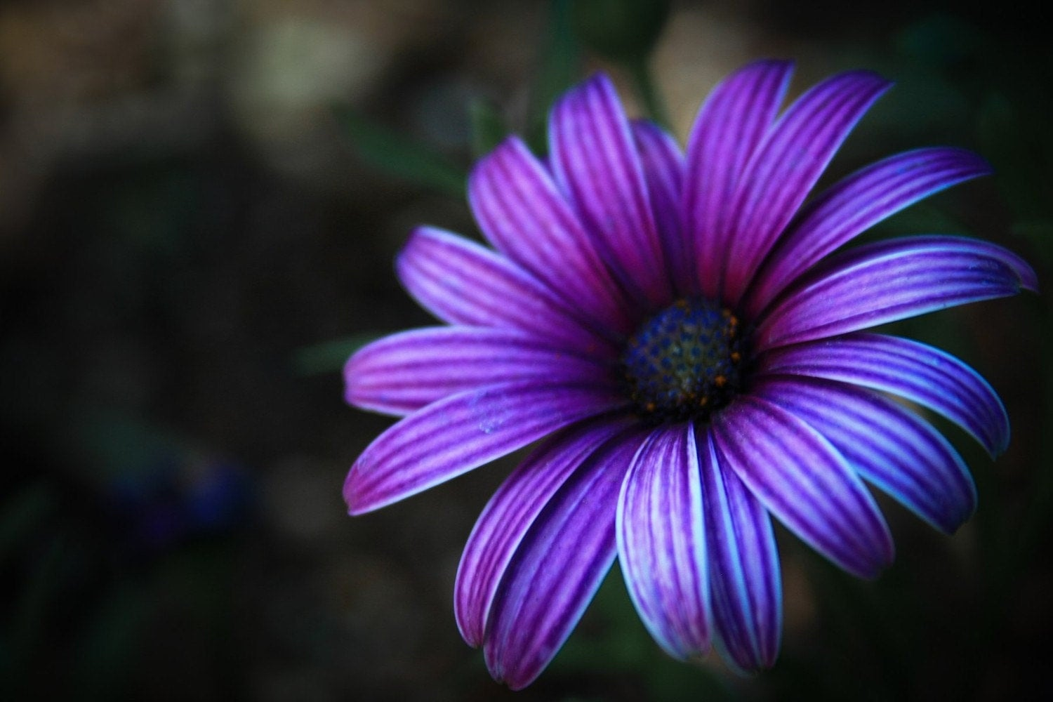 Purple Daisy Photo Print 5x7 Matted and Ready to Ship
