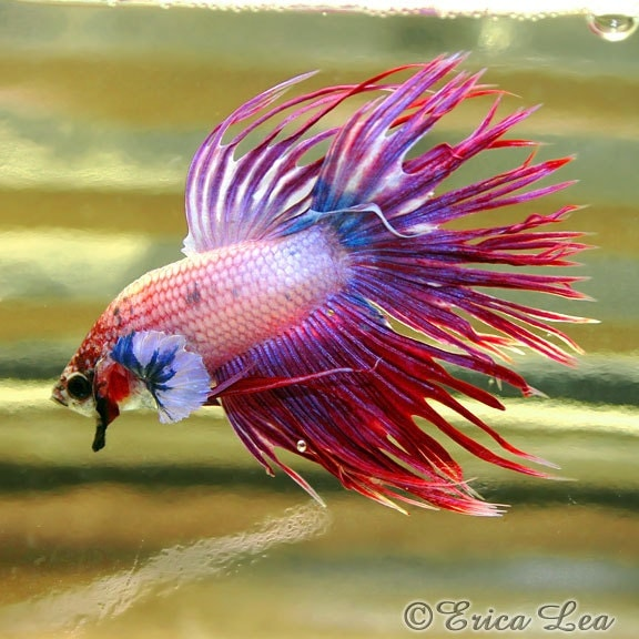 Crowntail betta fish photography animal photo red by for Crowntail betta fish