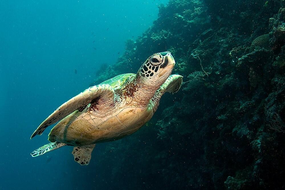 Sea Turtle Decor Photograph of Sea Turtle Swimming Underwater Nautical ...
