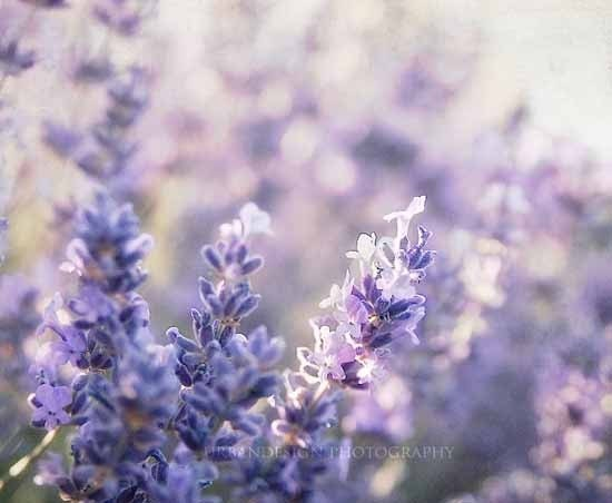 Lavender Fields - 8x10 Fine Art Photography Print