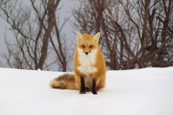 red fox sitting. Red Fox quot;Sweetheartquot; sitting