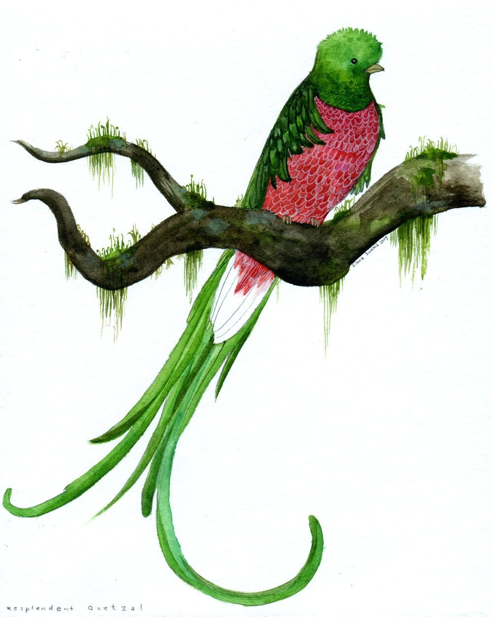 Original Bird Watercolor Resplendent Quetzal By Dianasudyka