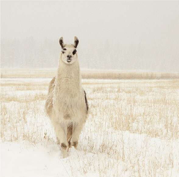 Animal Photography Llama in the Snow Animal Photograph of a Llama - lucysnowephotography
