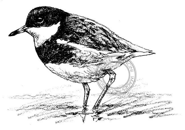 Sandpiper drawing