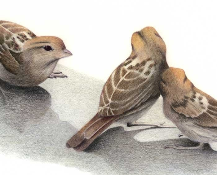 Sparrow Study - color pencil drawing art print by Jo Bradney