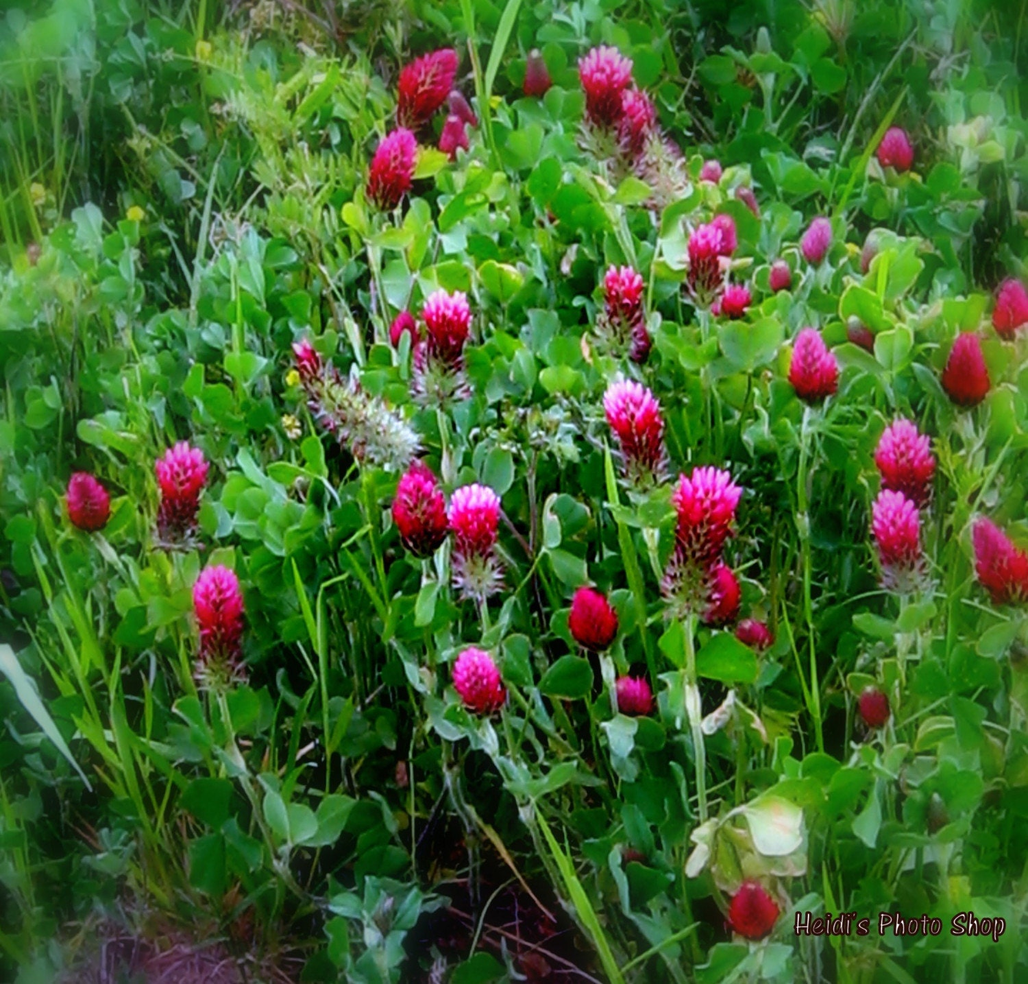 Red Clover so Softly 5 X 7