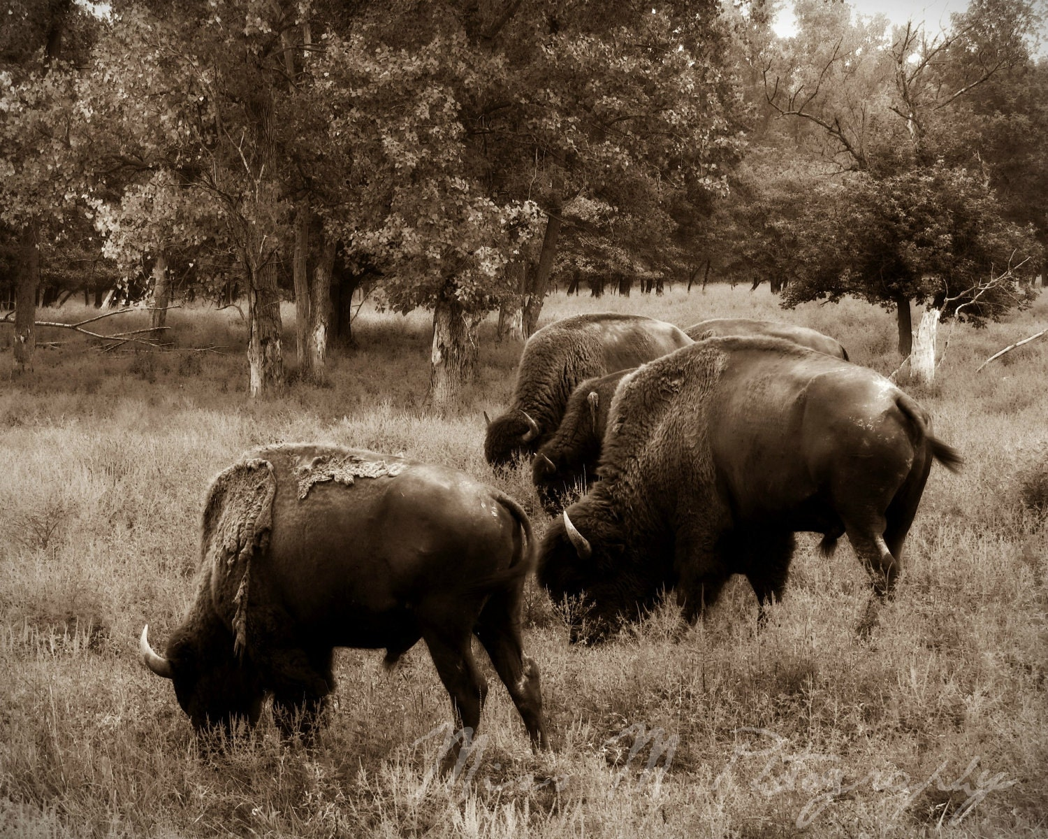 Bison buffalo sepia brown animal rustic by MissMPhotography