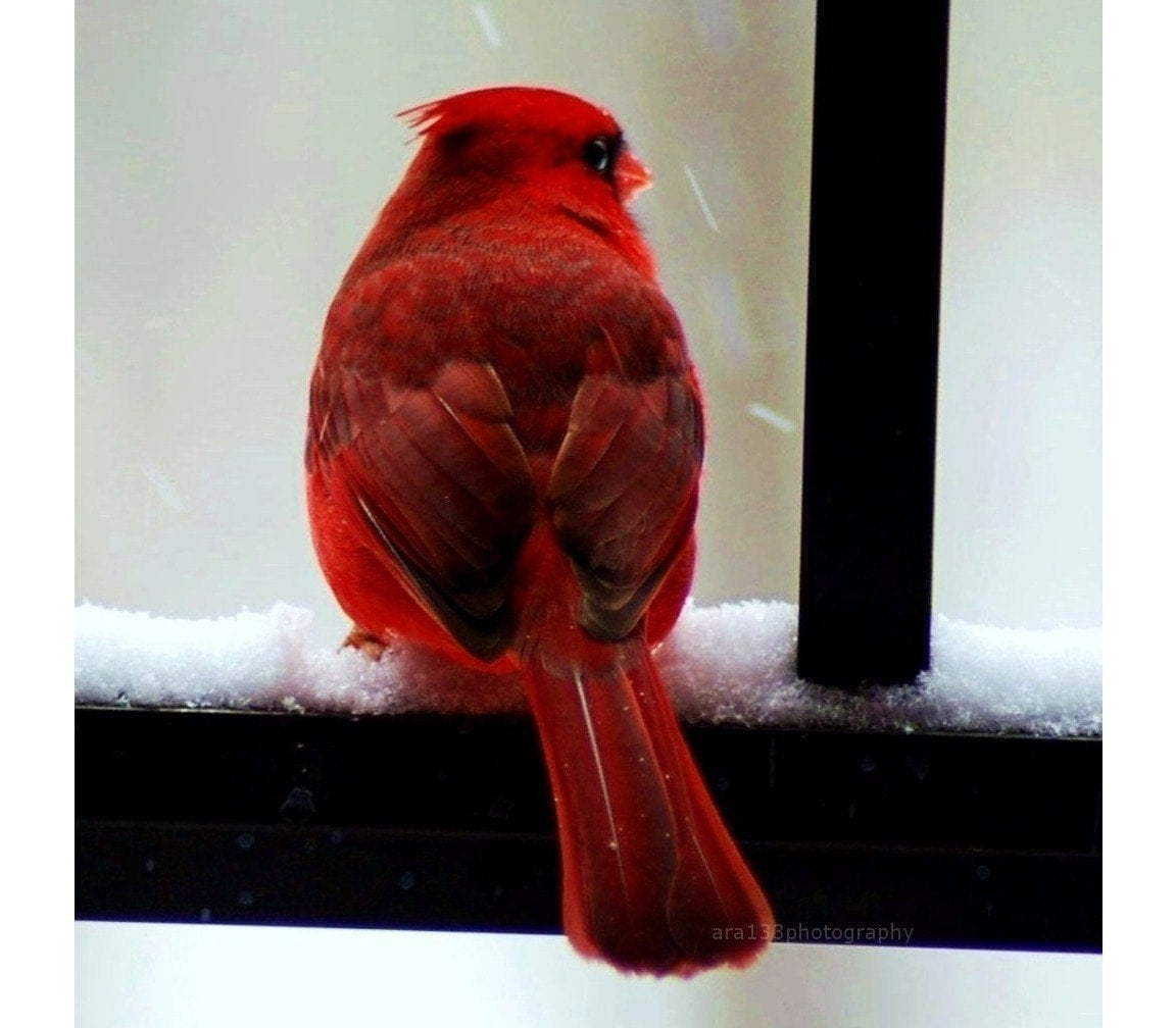 BOGO SALE - Cardinal in the Snow - 5x5 Fine Art Photography Print, Lustre