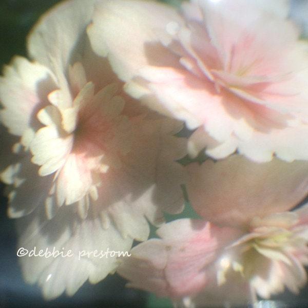 On the Fringe of Something Beautiful - 5x5 Lovely Begonia TtV Phototgraph Print
