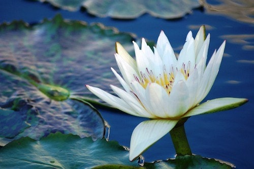 White Water Lily, JPEG