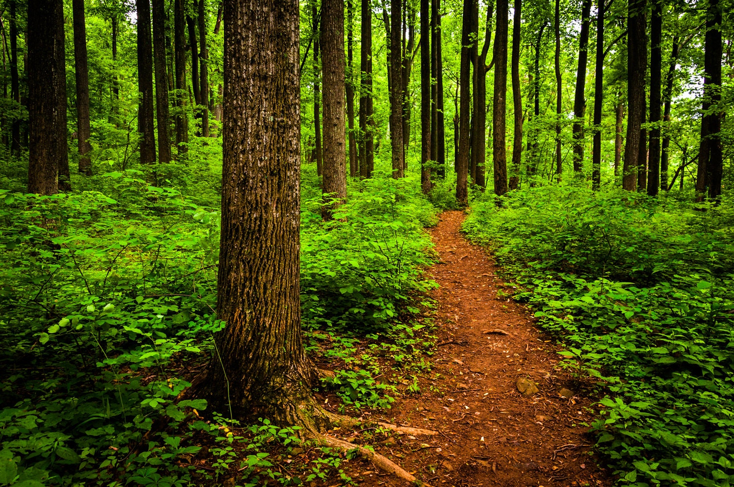 Path through a lush forest in Shenandoah National Park - Nature Photography Fine Art Print or Gallery Wrap Canvas Home Decor - AppalachianViews