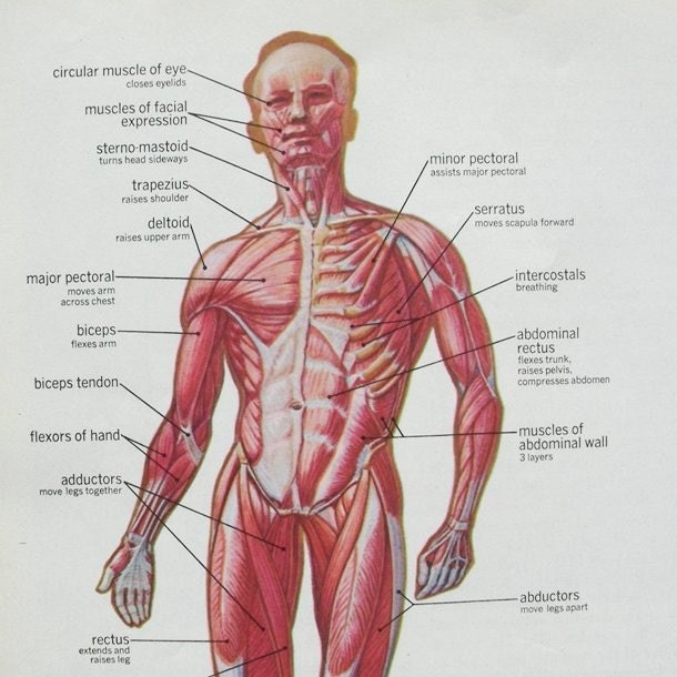 diagrams of human body. diagrams of human body.