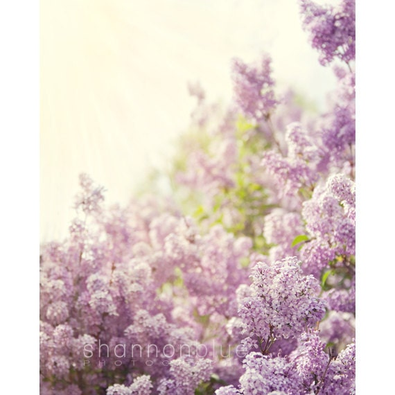 lilac spring botanical photograph / purple, lavender, sunshine, nature, feminine, flower / smells like spring / 8x10 fine art photo - shannonpix
