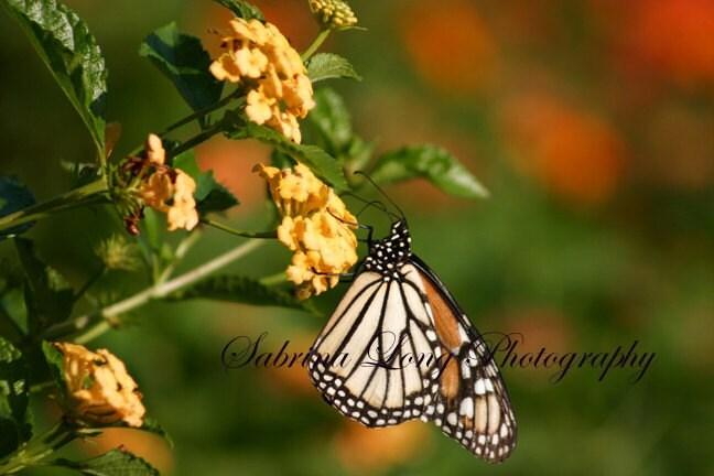 Butterfly 1 - Fine Art Print 8x12