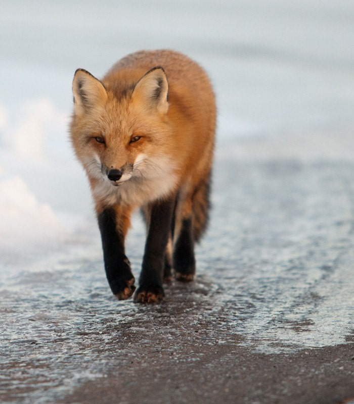 Red Fox Num. 3 8x10 Photographed Matted Print