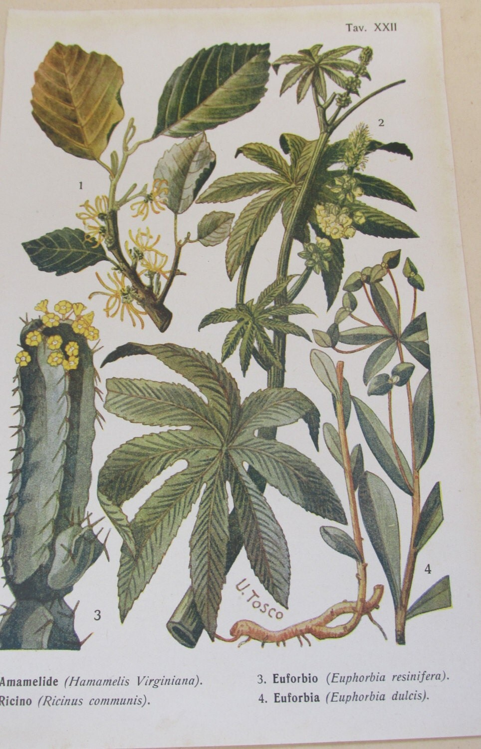 Antique 19th Century Italian Botanical Coloured Book Plate  Euphorbia  Ideal For Framing  XXII